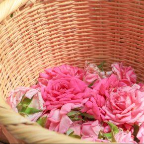 薔薇摘みと蒸留体験・香りのワークショップの様子 vol.1